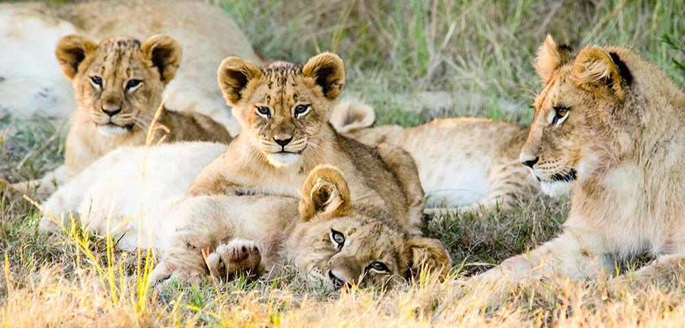 lion cubs at gondwana game reserve