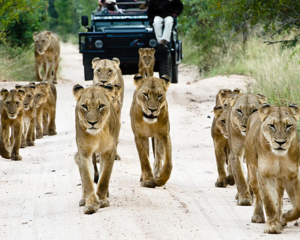 family-safarisabi-sabi-bush-lodge-lions