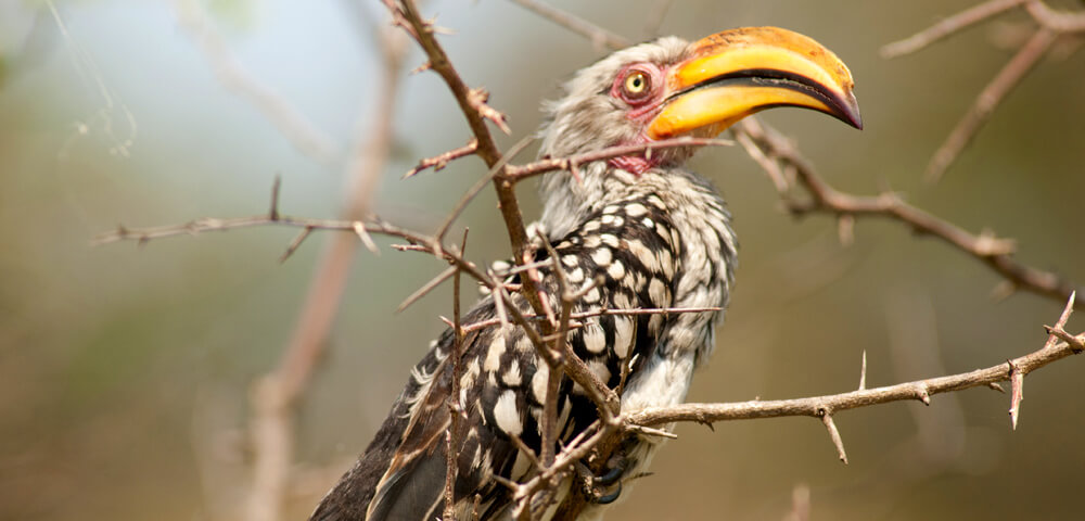 red-billed hornbill at jock safari lodge