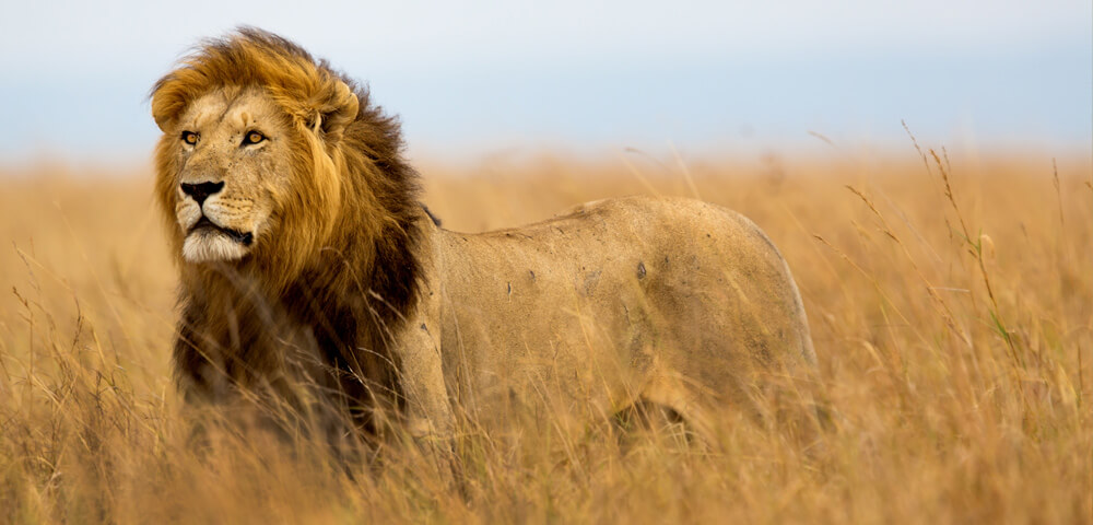 lion at serengeti pioneer camp