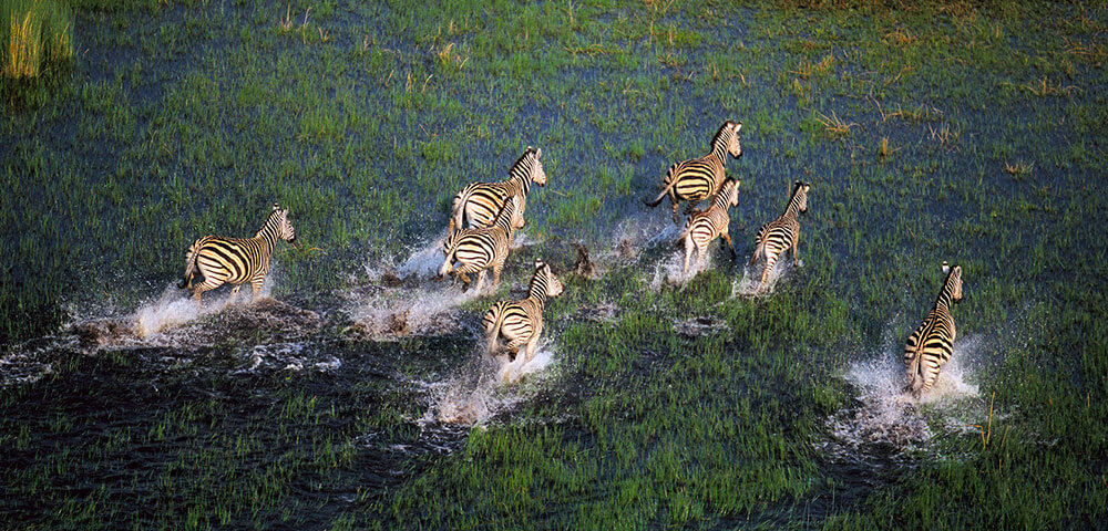 zebra migration in Botswana green season