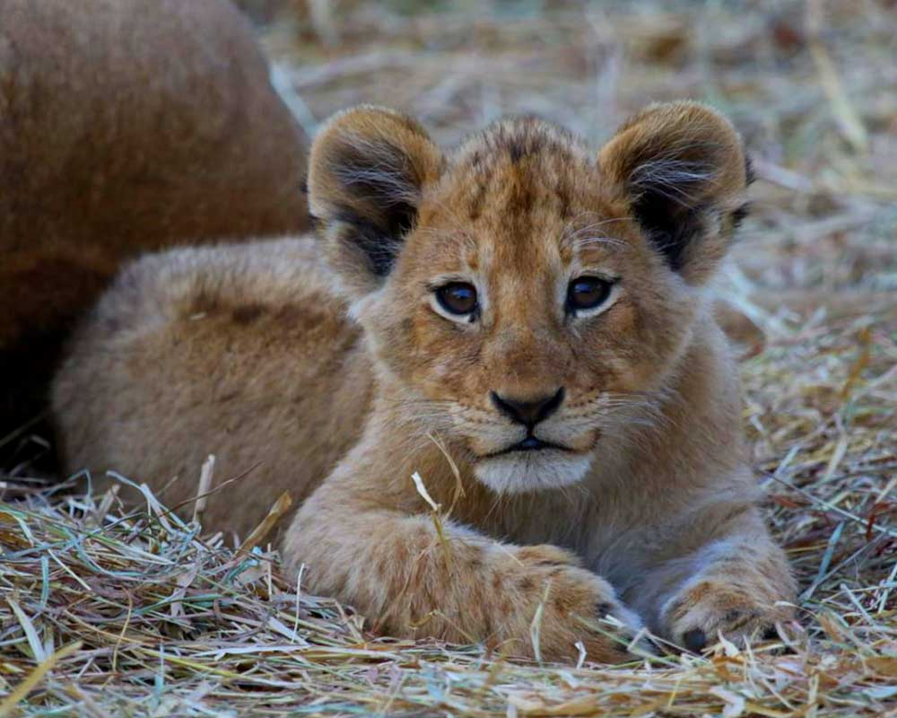 lukimbi-safari-lodge-lion-cub