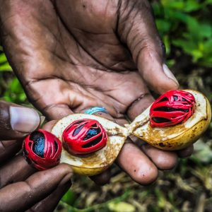 farmers hand presenting a fresh nutmeg fruit cut in half displaying the mace and nut in zanzibar