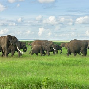 Large herd of African bush elephant (loxodonta africana) walking in open grassland, Amboseli National Park, Kenya