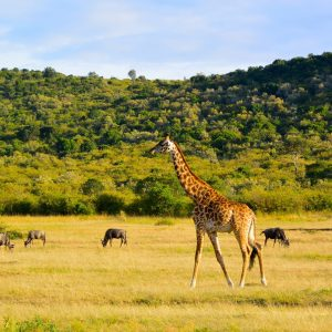 Giraffe with a herd of wildebeests. Maasai Mara, kenya
